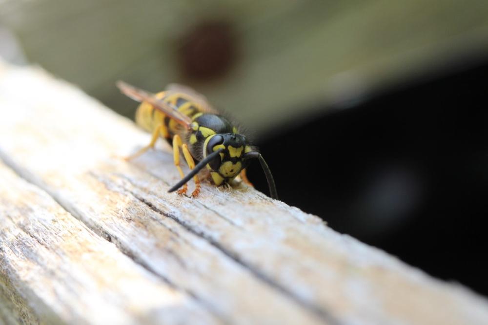 Eine gemeine Wespe raspelt Holz